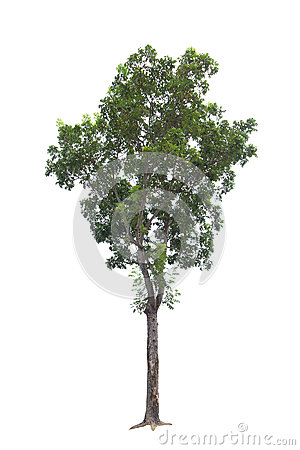 Free Closeup Big Tree Isolated On White Stock Image - 82853791