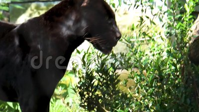 Closeup of a black jaguar walking in a forest scenery, rare spotted wild cat, Near threatened animal specie from America. A closeup of a black jaguar walking in stock video footage