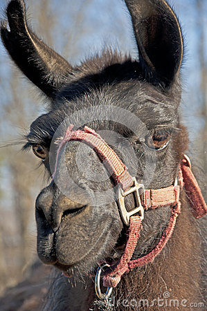 Closeup of a black llama with a red halter.