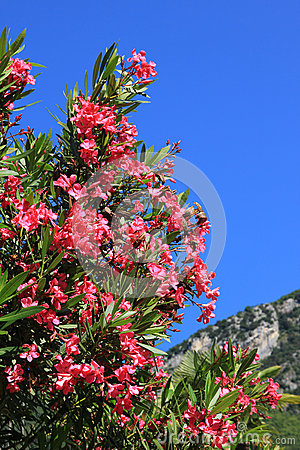 Closeup of blooming oleander branch