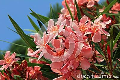 Closeup of blooming oleander