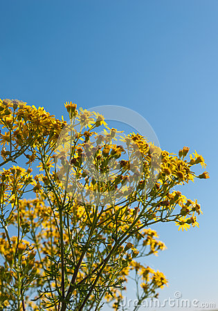 Closeup of blooming Ragwort in sunlight
