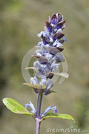 Closeup blue bugle