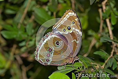 Closeup Blue Morpho butterfly