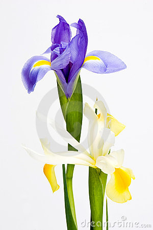 Closeup blue and white iris bloom isolated