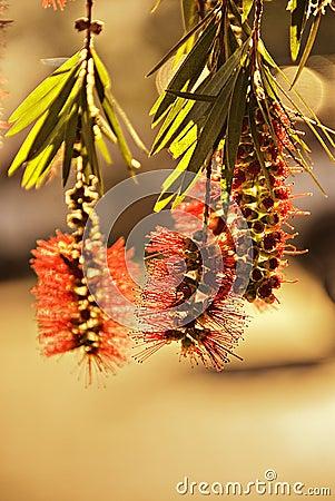 Closeup of bottlebrush plant