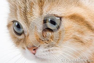 Closeup  British  breed kitten.