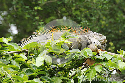 Closeup brown Iguana