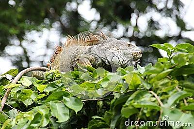 Closeup brown Iguana