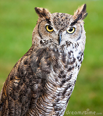 Closeup of a brown owl