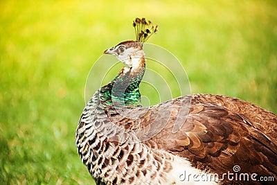 Closeup of Brown peacock