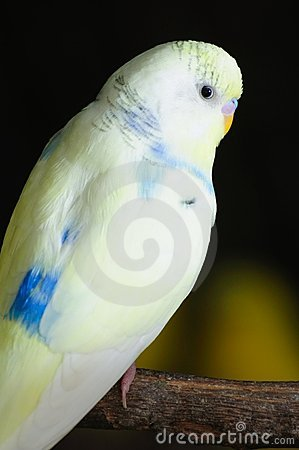 Closeup of budgerigar