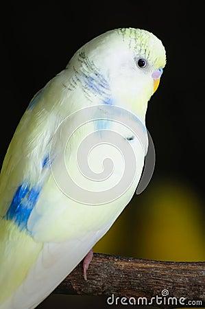 Closeup of budgerigar