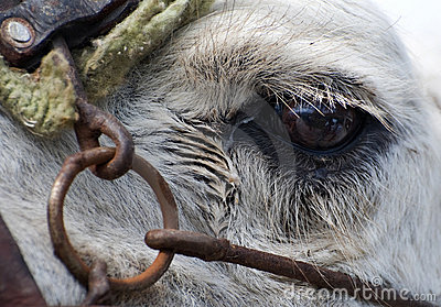Closeup Of Camels Eye Royalty Free Stock Photos - Image: 12998018