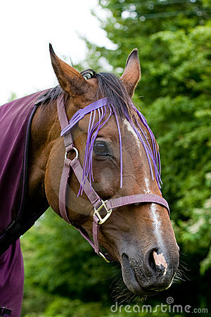 Closeup of Chestnut Horses Head With Purple Halter