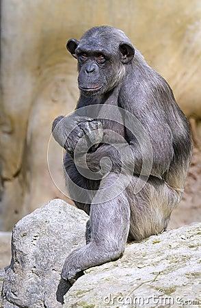 Closeup of chimpanzee (Pan troglodytes)