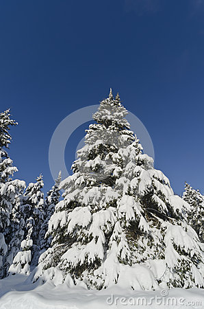 Closeup of Christmas Tree Covered with Snow