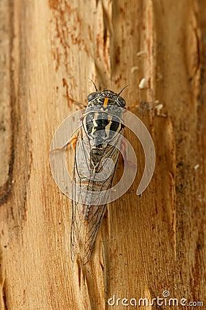 Free Closeup Cicada Euryphara, Known As European Cicada, Crawling On The Tree Bark. Stock Photos - 96529523