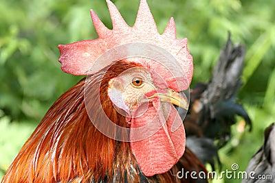 Closeup of a Cock Head.