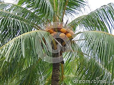 Closeup Coconut Palm Tree