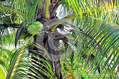 Closeup of Coconut Palm trees, Nuts & Bird