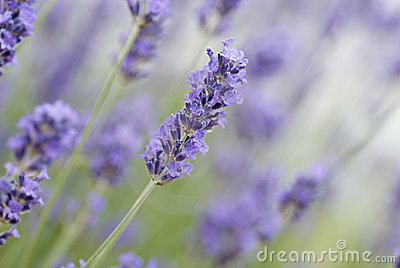 Closeup of common lavender