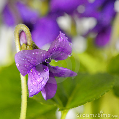 Closeup on Common Violet flower with dew