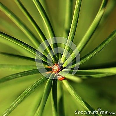 Closeup of coniferous twig