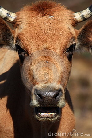 Closeup of cow s head with mouth open