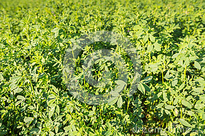 Closeup  of cultivated Clover at farmland