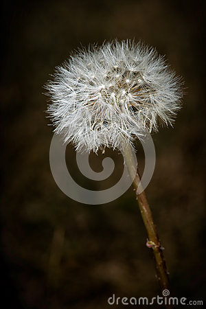 Closeup of Dendelion with Gone to Seed