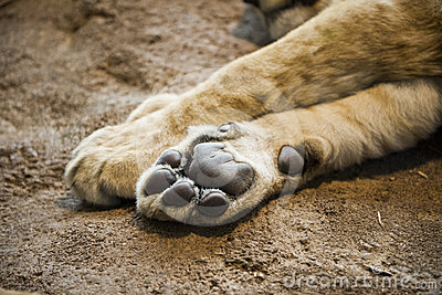 Closeup Detail Lion Paw or Foot