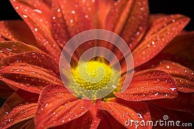 Closeup of Dewy, Red Chrysanthemum