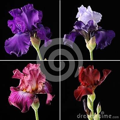 Closeup of different irises