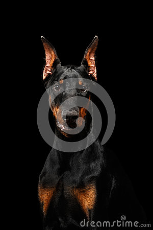 Free Closeup Doberman Pinscher Dog Looking In Camera On Isolated Black Royalty Free Stock Photo - 71580795