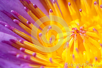 Closeup on flower of the water lily