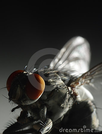 Closeup of a fly