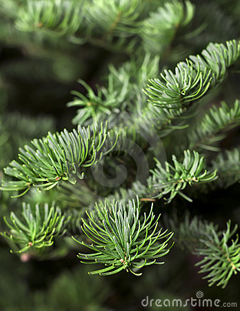 Closeup of a fresh green fir branches