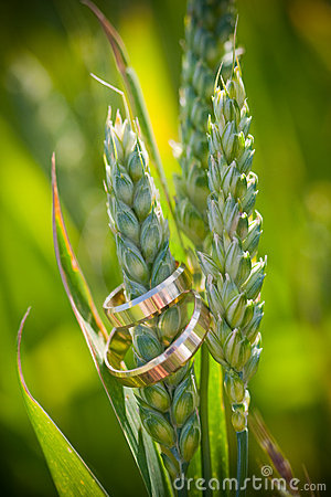 Closeup of gold wedding rings