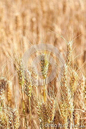 Closeup golden grain ready for harvest in field