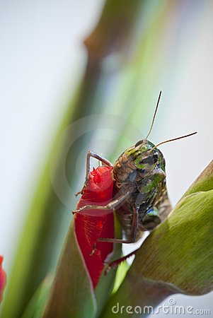 Closeup of grasshopper on red gladioli flower