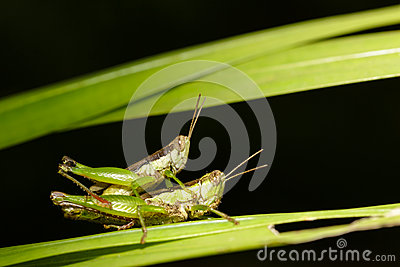 Closeup grasshoppers mating