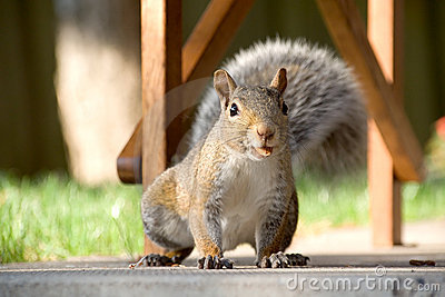 Closeup of gray squirrel with nut