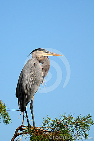 A Closeup of a Great Blue Heron