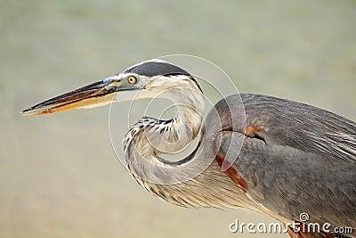 Closeup of a Great Blue Heron