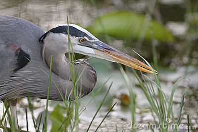 Closeup of Great Blue Heron Stalking its Prey