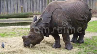 Closeup Of A Great Indian Rhinoceros Eating Hay, Rhino ...