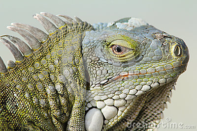 Closeup of Greeen Iguana