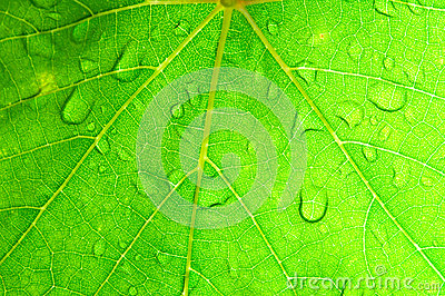 Closeup of green grape leaf texture.