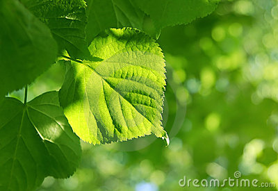 Closeup of green leaf glowing in sunlight